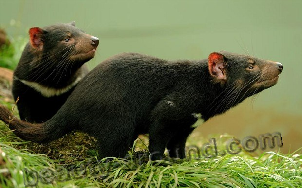 Тасманийский Тасманский дьявол / Tasmanian-devil - животное Австралии, австралийское животное