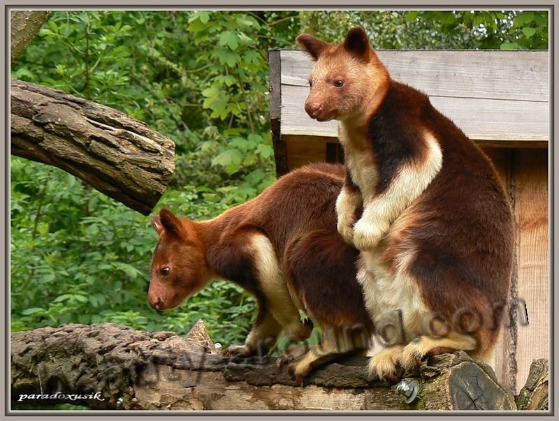 Древесный кенгуру - сумчатое животное Австралии, бумер,  австралийское животное