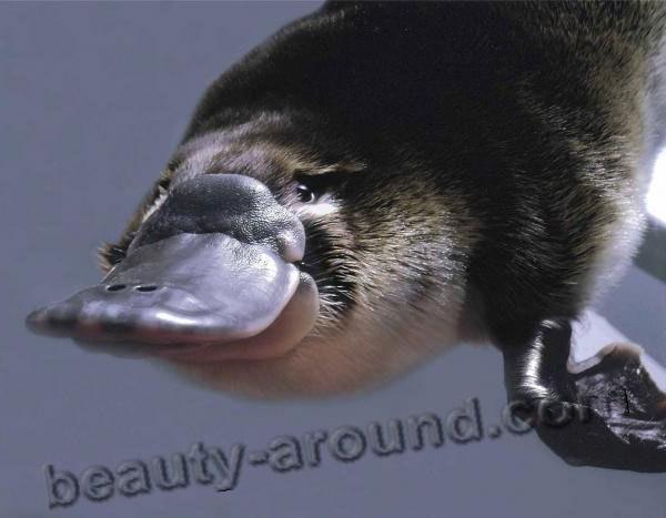 Утконос - животное Австралии, австралийское животное, символ Австралии, однопроходные животные