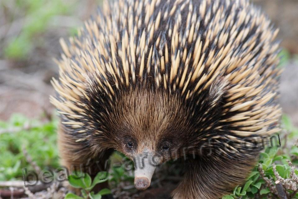 Австралийская ехидна - однопроходные, животное Австралии, австралийское животное