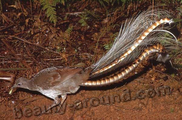 Лирохвосты или птицы-лиры / Menuridae -животные Австралии, самая красивая птица Австралии, национальный символ Австралии