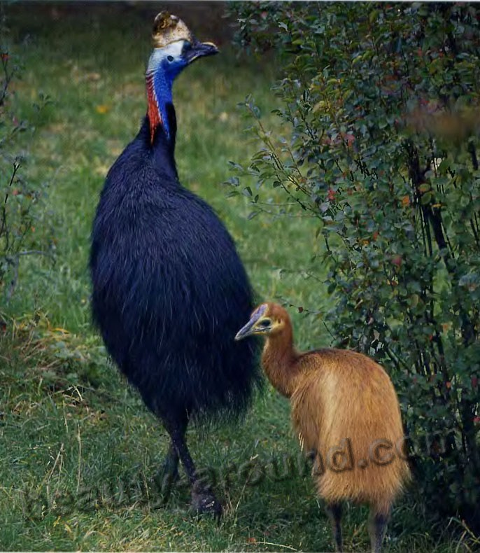 Шлемоносный казуар или обыкновенный казуар / Casuarius casuarius - животные Австралии, птицы Австралии, самые красивые птицы Австралии, птенцы казуара