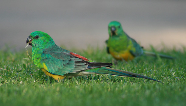 Red rumped Parrot Australian Parrots photo
