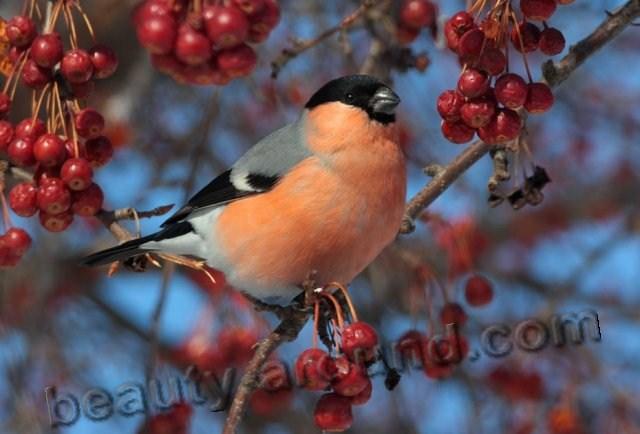 Снегирь фото красивых птиц