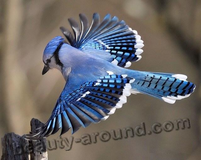 Голубая сойка фото красивых птиц