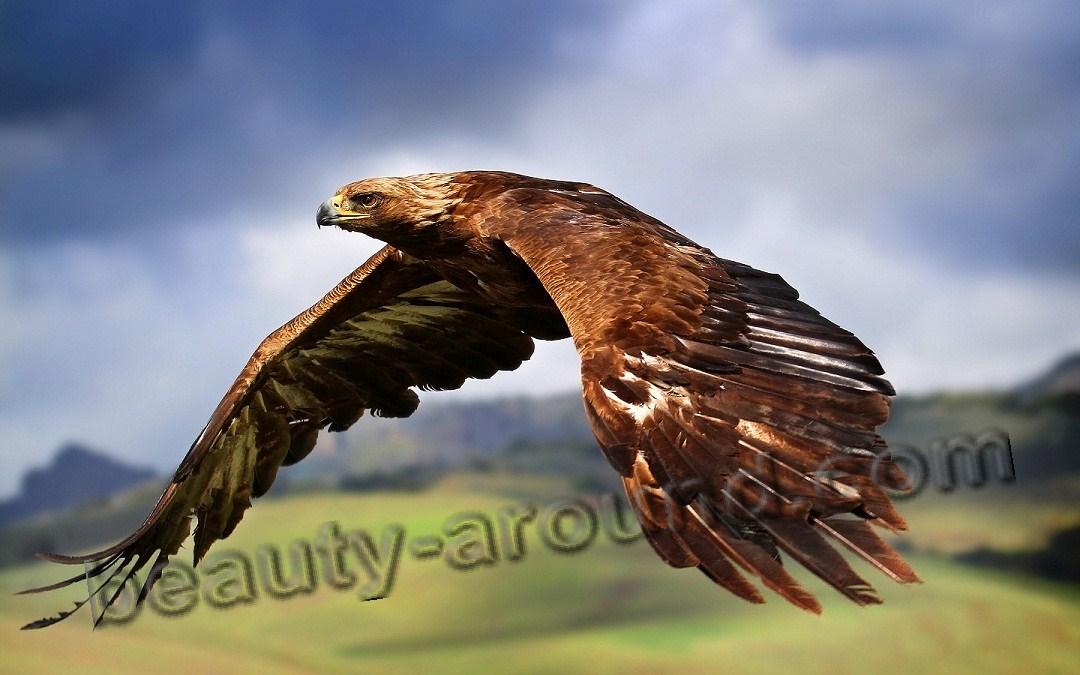Орел самая красивая птица фото