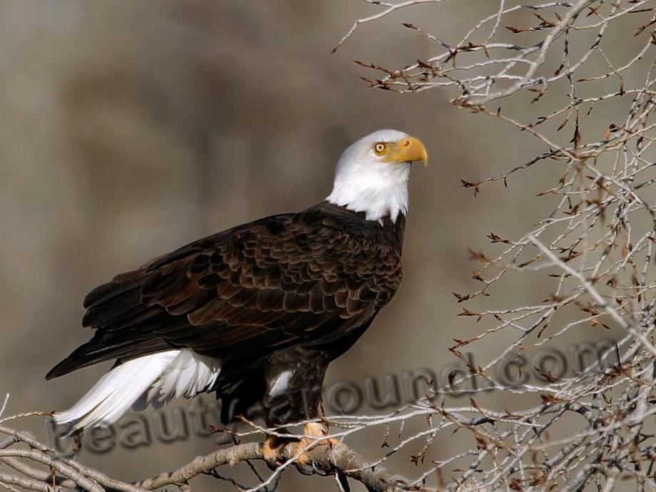 Орлан самая красивая птица фото