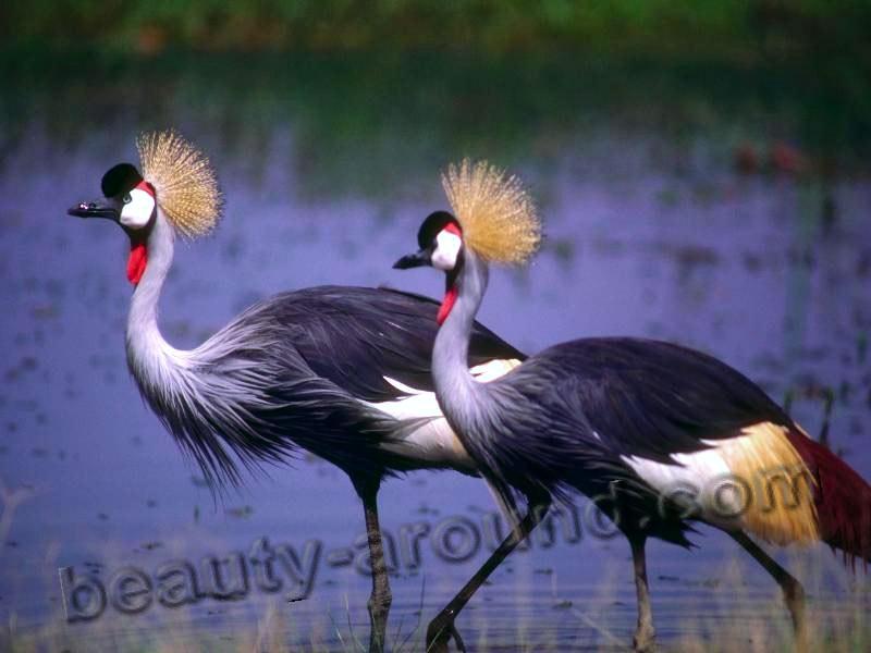 Венценосный журавль фото красивых птиц