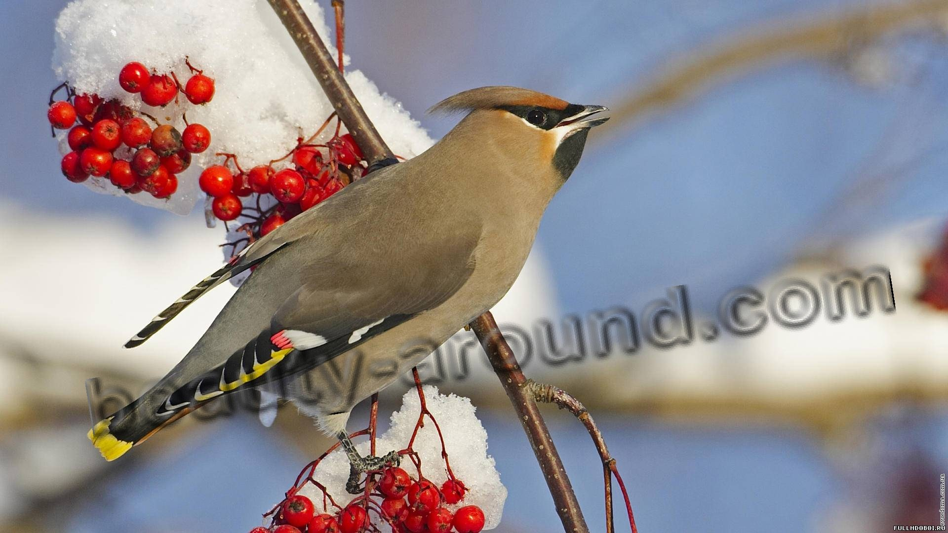 Свиристель фото красивых птиц