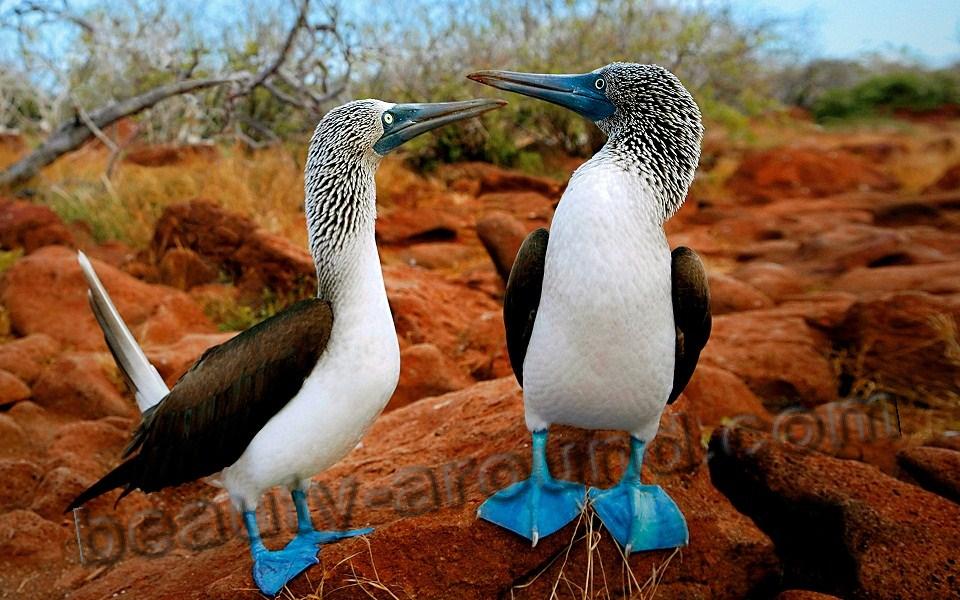 Голубоногая олуша фото красивых птиц
