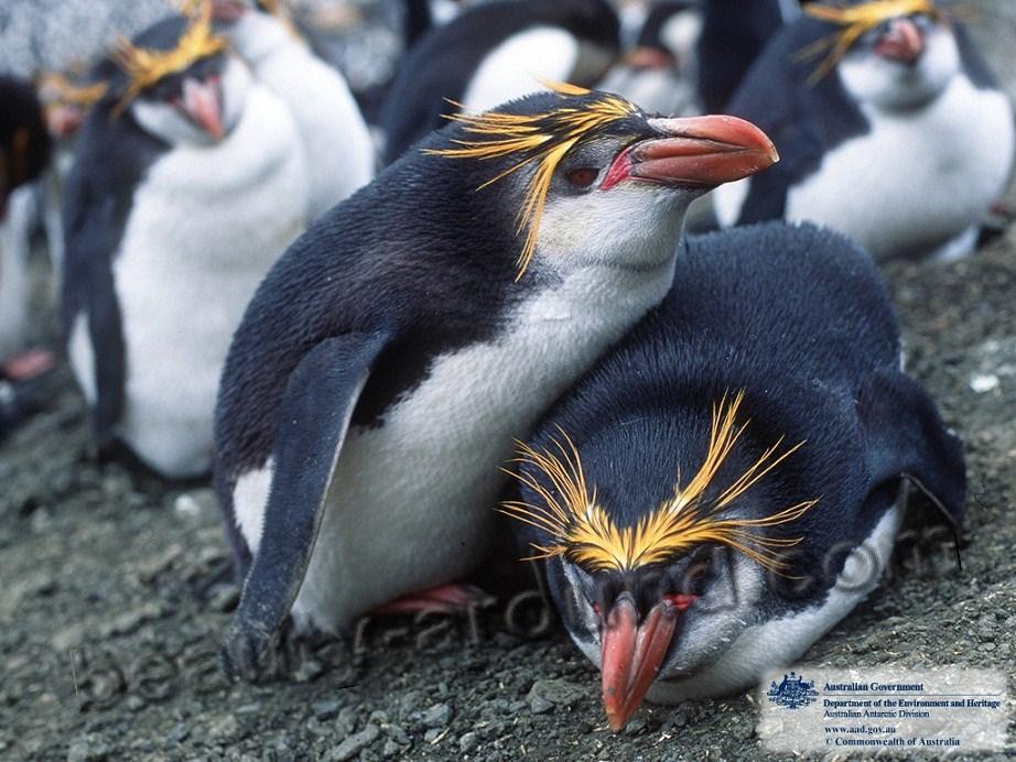 Златовласый  пингвин фото красивых птиц