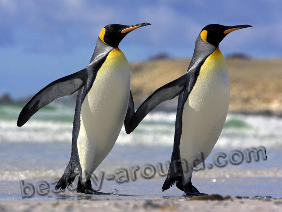 Императорский  пингвин фото красивых птиц