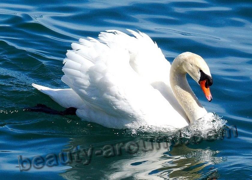 Лебедь самые красивые фото лебедей