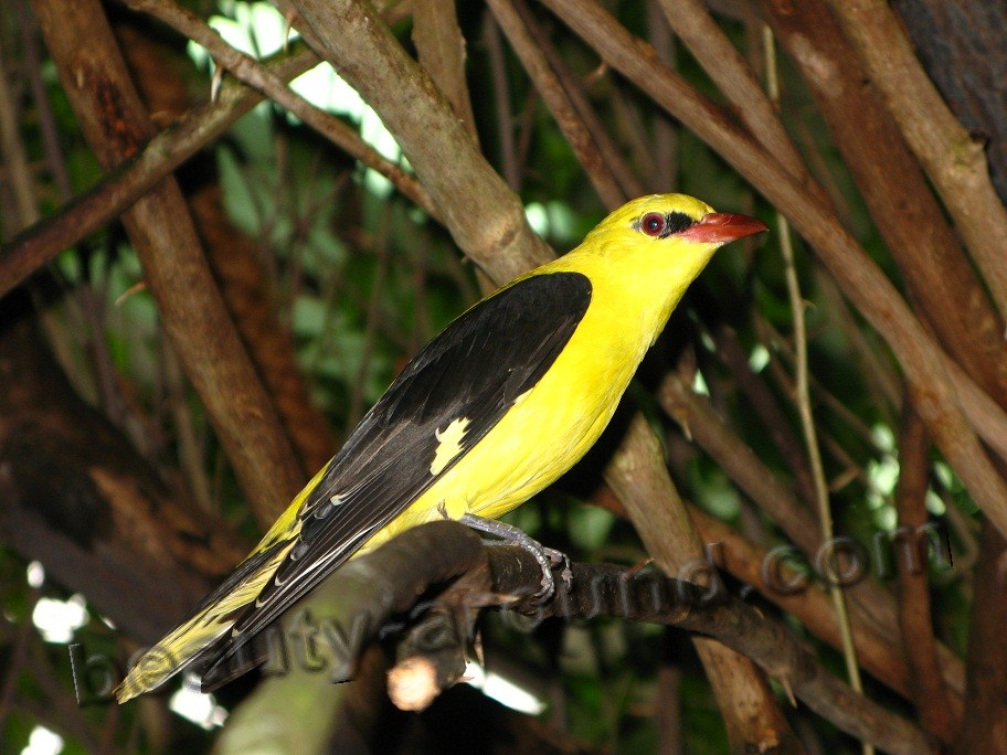 Обыкновенная иволга фото красивых птиц