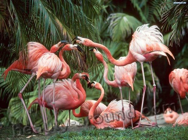 Розовый фламинго фото красивых птиц