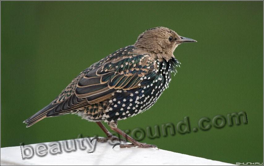 Скворец фото красивых птиц