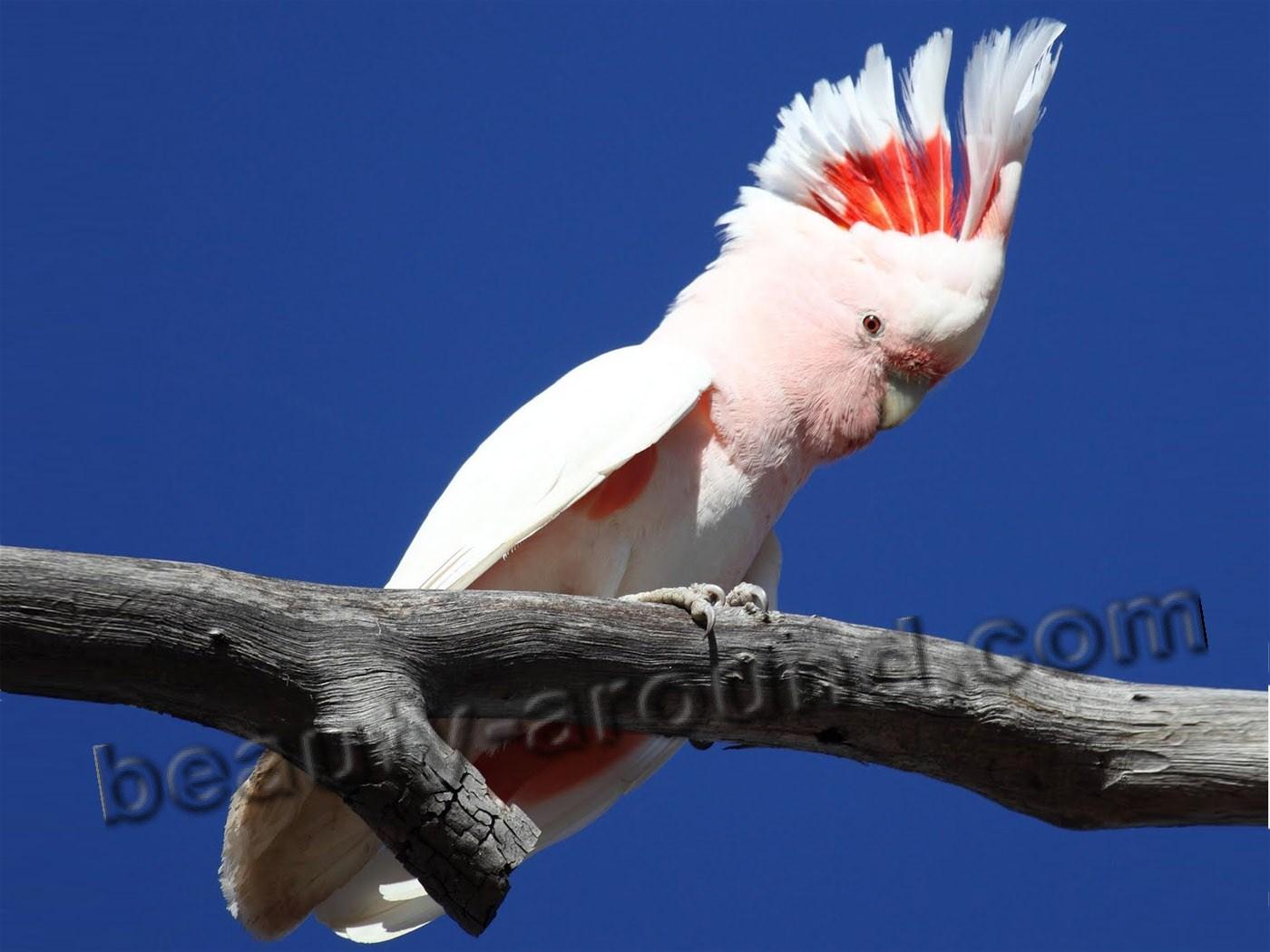 Какаду самый красивый попугай