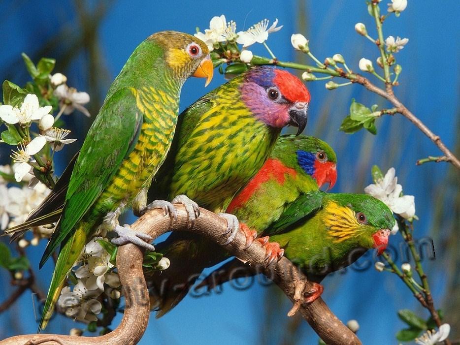 Розелла самый красивый попугай