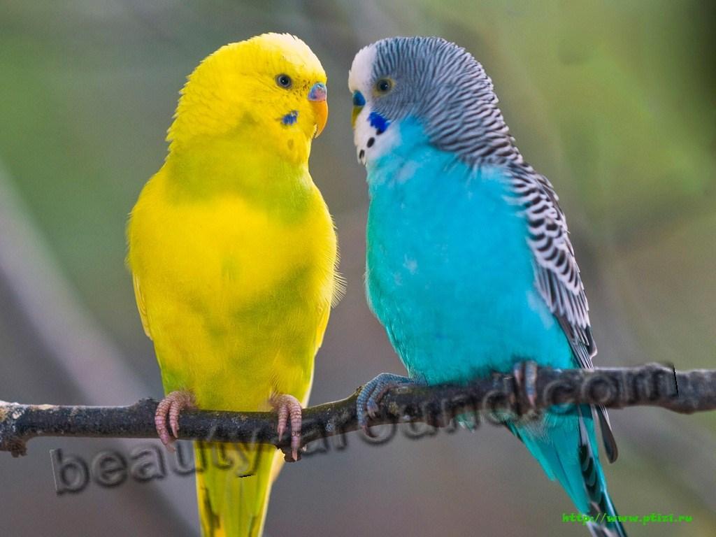 Волнистый попугай красивые фото птиц
