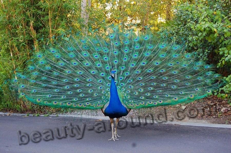 Павлин самые красивые птицы фото