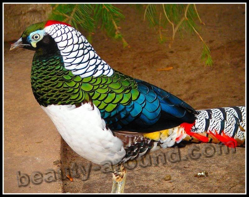 Алмазный фазан фото красивых птиц