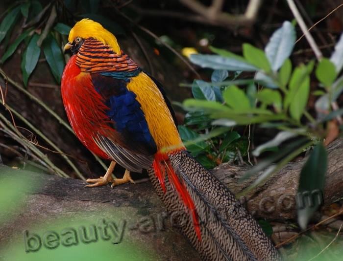 Золотой фазан фото красивых птиц
