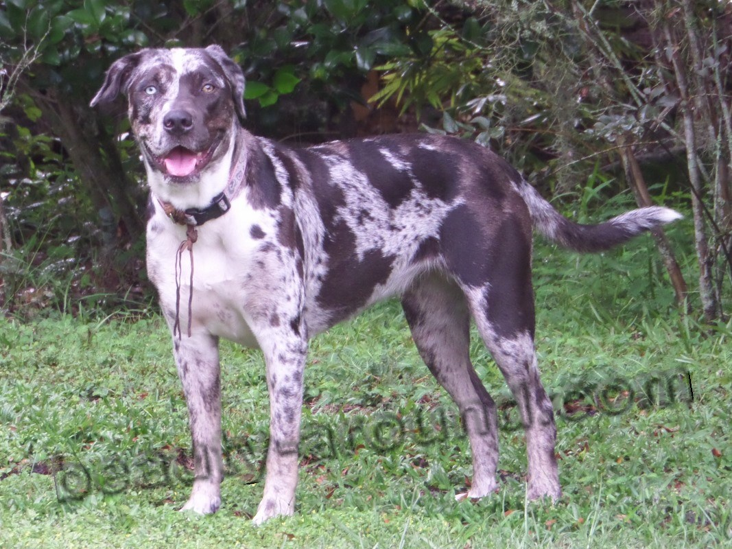 Catahoula Bulldog photo