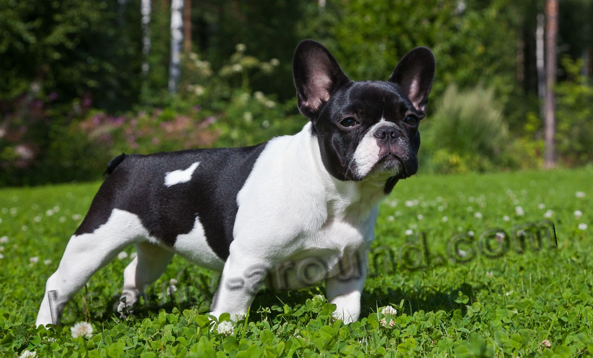 breeds of bulldogs About mini bulldogs  best english champion lines but on the small side we do not mix our bulldogs with other breeds as most breeders who claim to have mini.