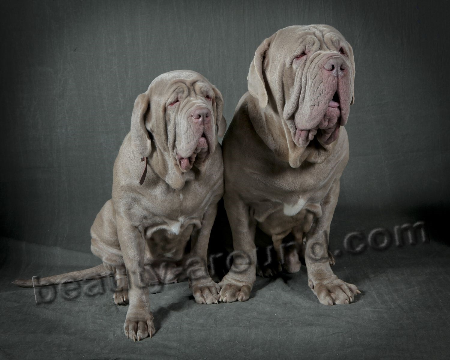 Neapolitan Mastiff or Mastino Napoletano photo