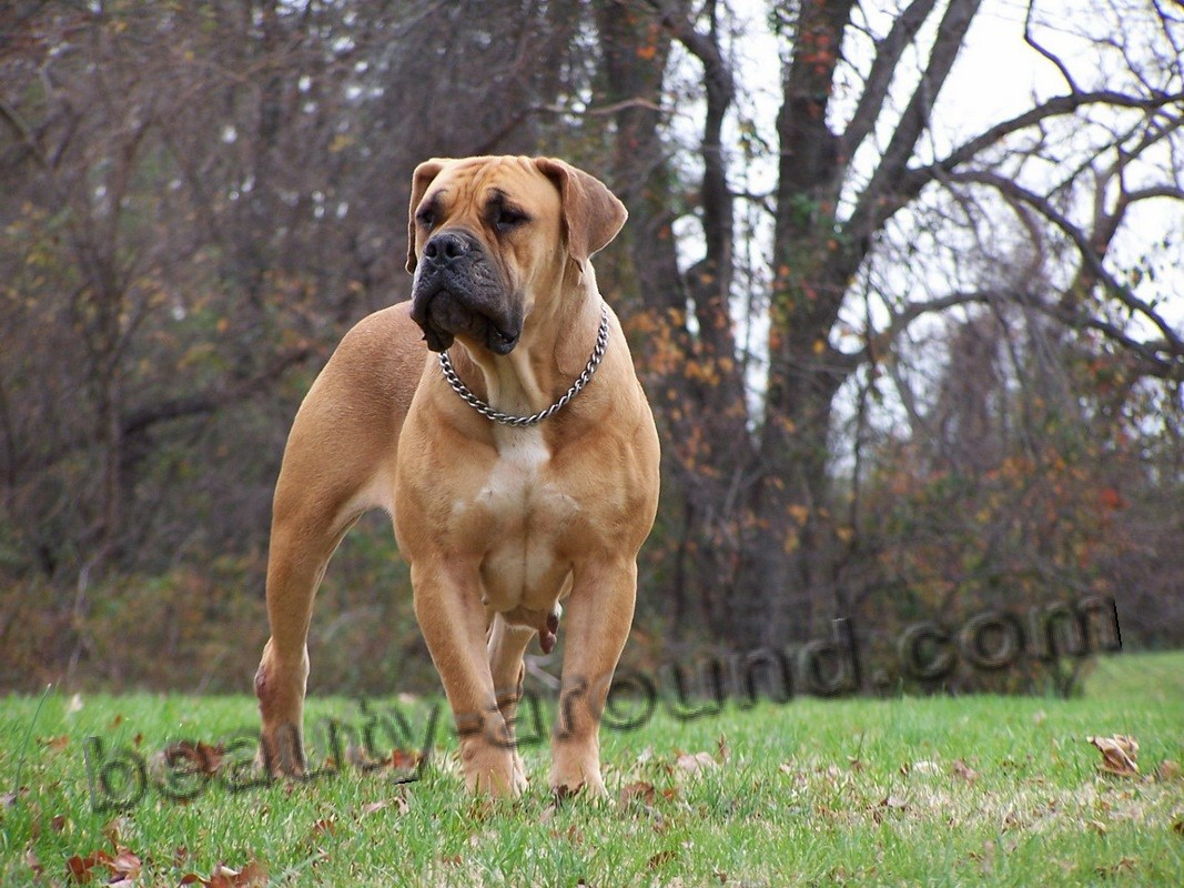 African Mastiff or Boerboel photo