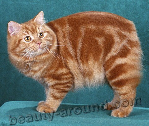 Cymric beautiful cat breeds photos
