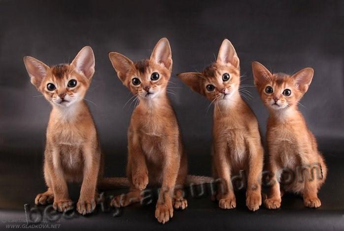Абиссинская кошка красивая порода