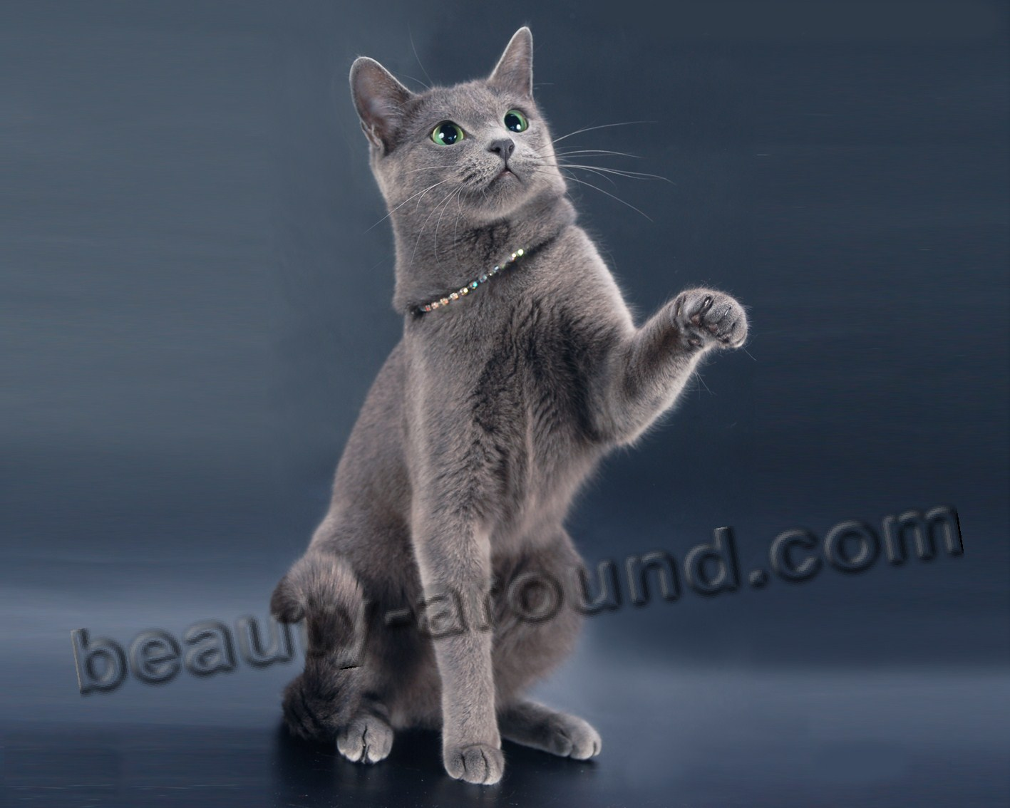 Russian Blue Cat beautiful cat breeds photos