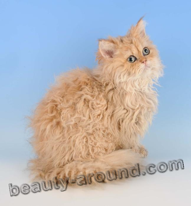 Selkirk Rex beautiful cat breeds photos