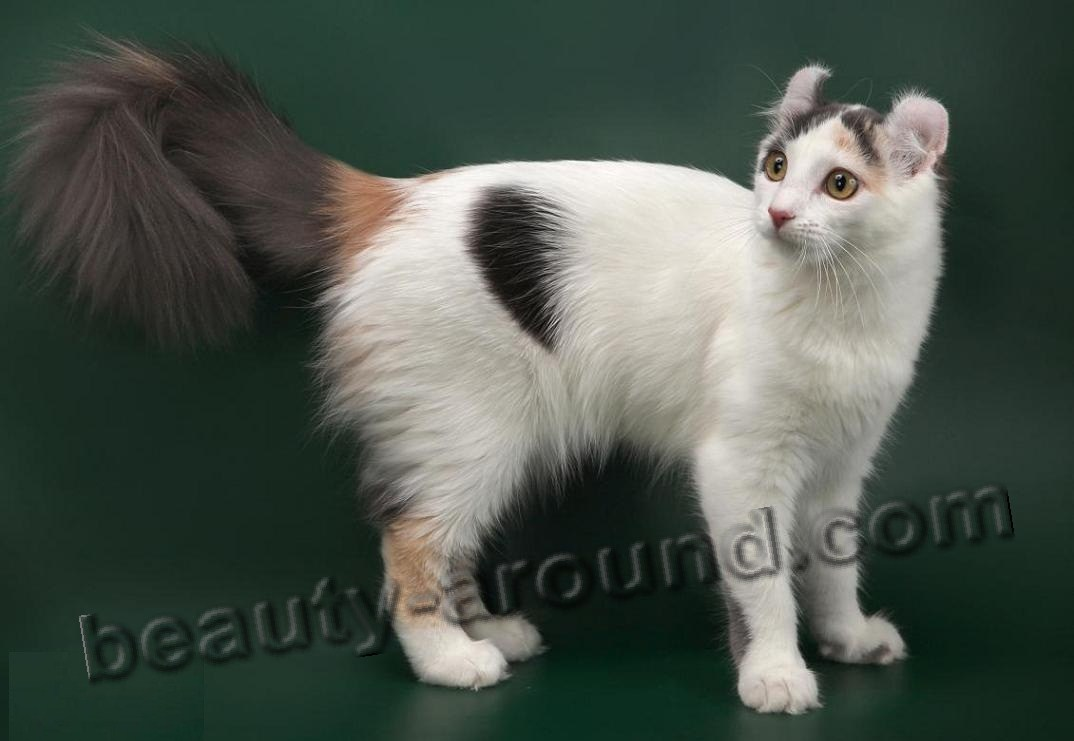 American Curl beautiful cat breeds photos