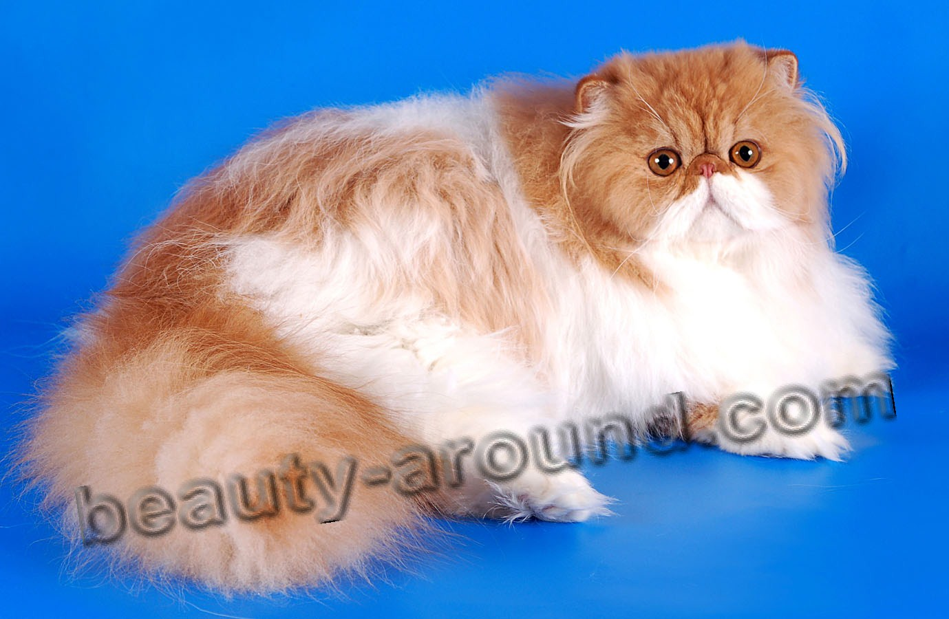 Persian cat beautiful cat breeds photos