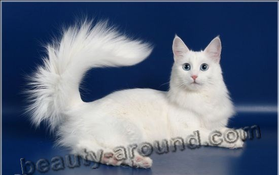 Turkish Angora (Angora cat) beautiful cat breeds photos