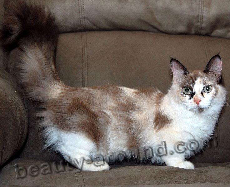 Манчкин красивая порода кошек