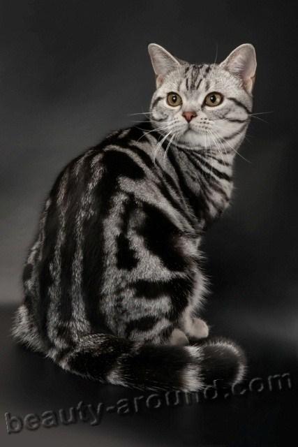 Американская короткошерстная кошка красивая порода кошек