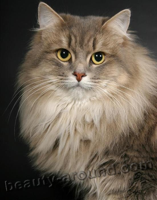 Siberian cat the most beautiful cat in the world