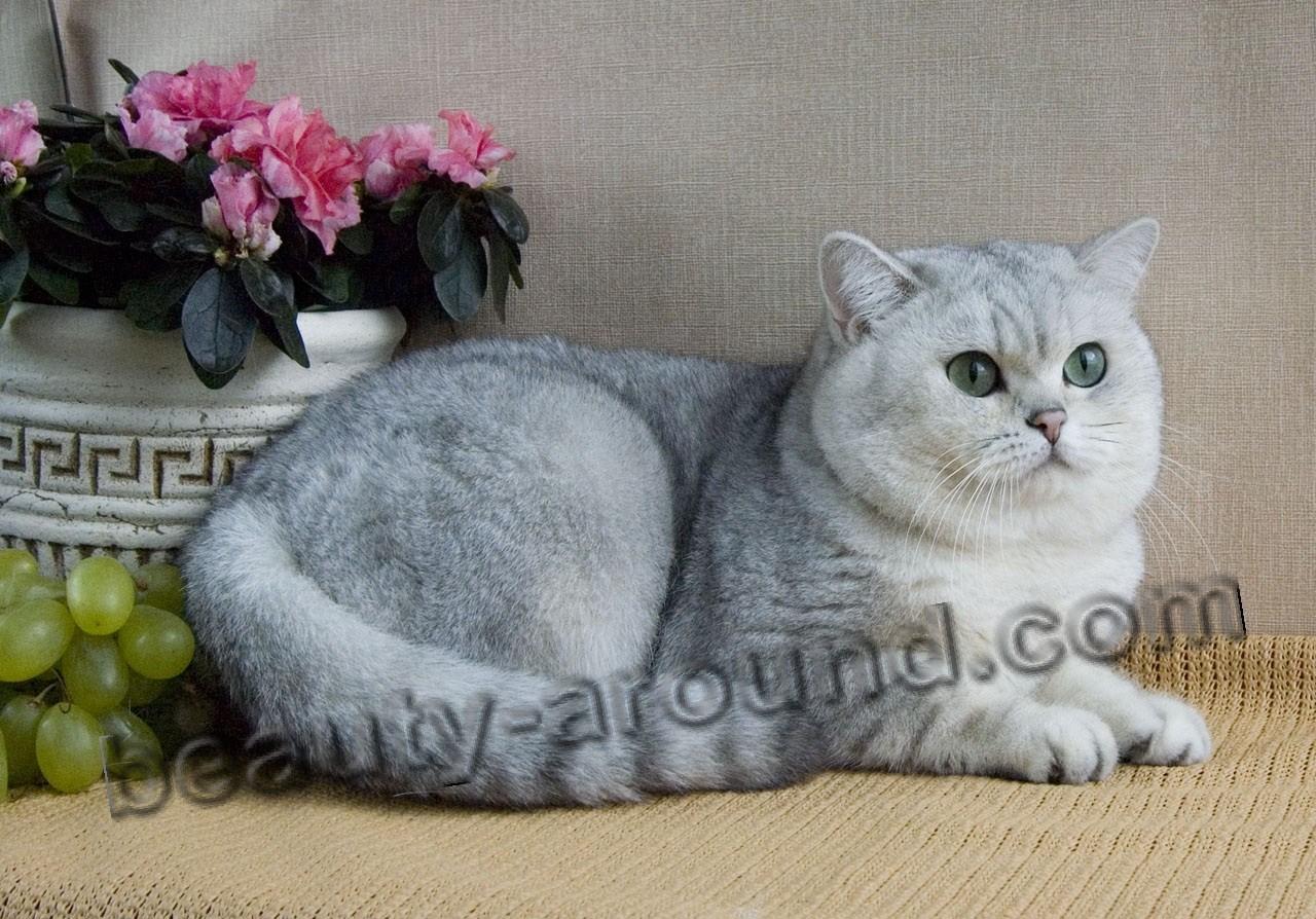Британские короткошёрстные (Британцы) красивая порода кошек