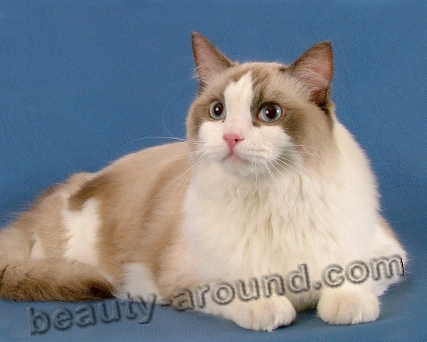 Ragdoll beautiful cat breeds photos