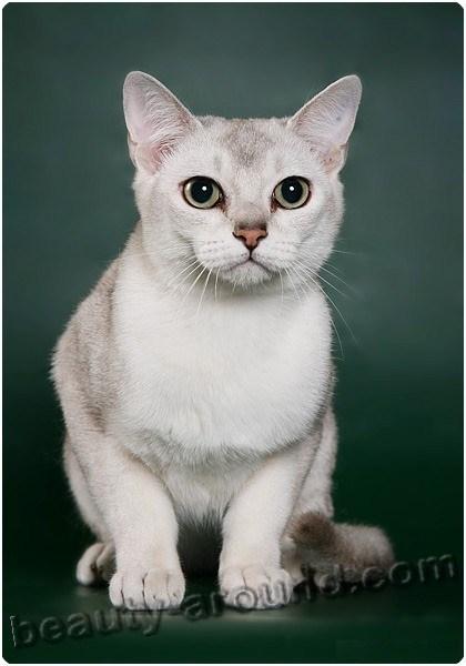 Бурмилла красивая порода кошек