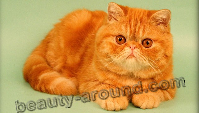 Exotic Shorthair beautiful cat breeds photos