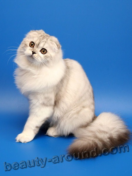 Шотландская вислоухая кошка (Скотиш-фолд) красивая порода