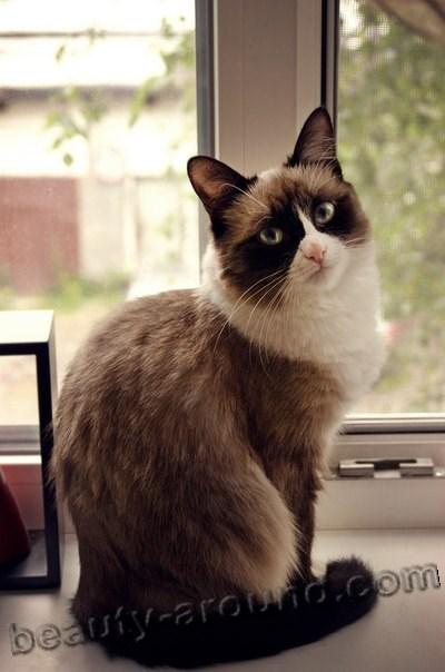 Сноу-шу (снежная туфелька) красивая порода кошек