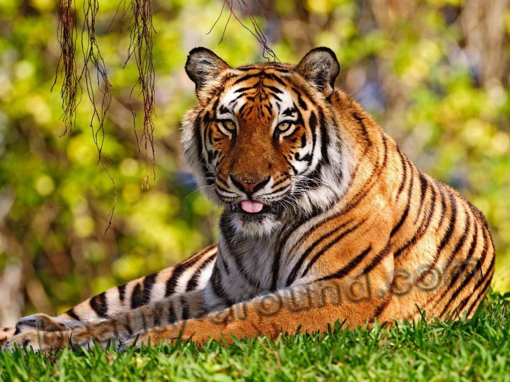 Тигр красивые фото животных
