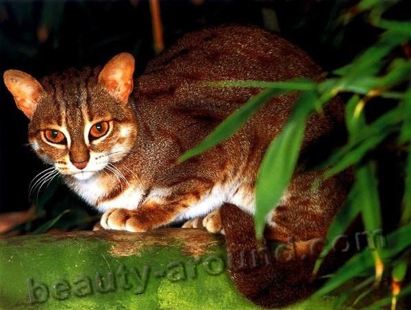 Ржавая кошка (пятнисто-рыжая кошка)