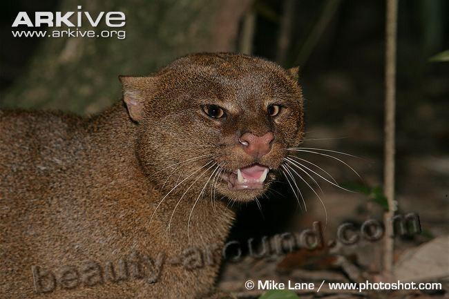 Ягуарунди семейство кошачьих