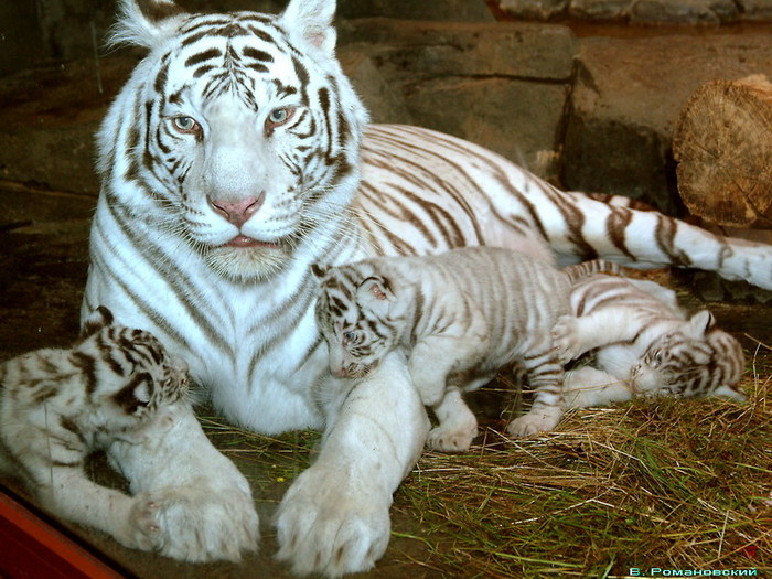 1beluye tigruy